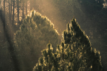 pine trees with morning foggy of a national park and light layer it's beautiful sun light