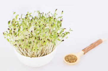 Sprouted alfalfa seeds - Medicago sativa