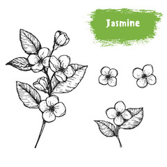 Jasmine hand drawn sketch. Vintage vector illustration. Label or icon for design of package. Retro style image.