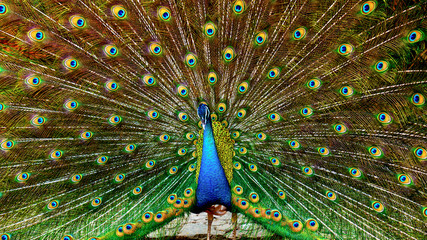 Peacock spreading tail feathers