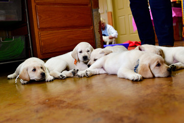 Baby Labrador Retriever puppies resting after a hard days play