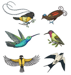 Small birds of paradise, barn swallow or martlet and parus or titmouse, hummingbird, rufous and white-necked Jacobin. Exotic tropical animals. Use for wedding, party. engraved hand drawn in old sketch