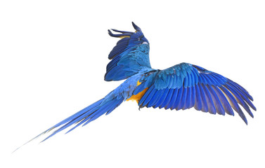 Blue-and-yellow macaw in studio Fotomurales