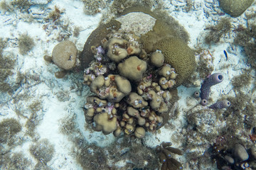 Underwater scene with coral, giant brain coral, branching purple vase sponge and christmas tree worm.