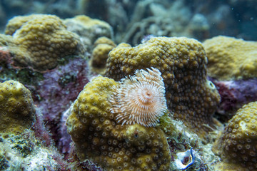 Christmas tree worm on coral polyps