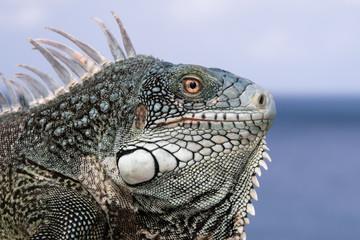 Caribbean iguana portait