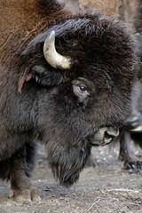 Fototapeta Single grown male Bison in zoological garden