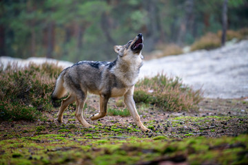 Foto auf Leinwand Wolf The gray wolf or grey wolf (Canis lupus) standing on a rock