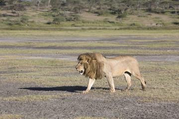 African lion Panthera patrolling territory