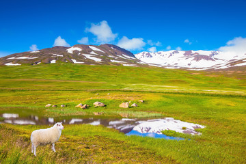 White Icelandic sheep grazing in the meadow