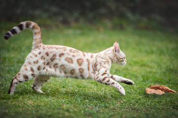 White Bengal chasing Leaf