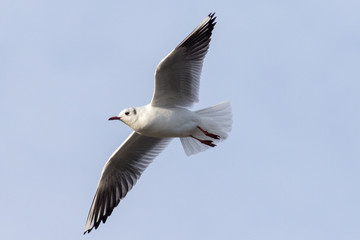 Brown headed gull, during winter plumage.