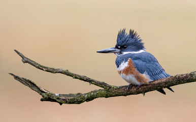 Belted Kingfisher Wall mural