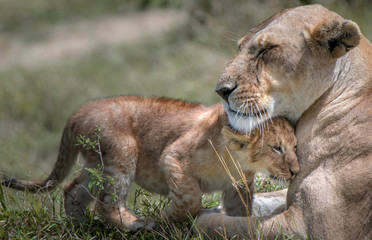 Lion cub cuddles with its mother in Kenya's Masai Mara National Park.