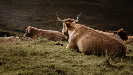 Horned, hairy cows sit on a grassy hill basking in the sunlight that pours into a valley of the Scottish highlands.