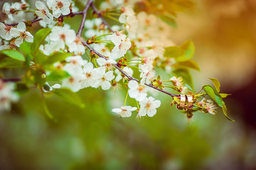 Close-up of two golden wedding rings hanging on a branch of a spring blooming tree with white flowers in the rays of the sun