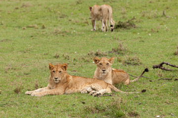 lions relaxing on the grasslands of the Maasai Mara