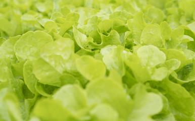 Green oak salad lettuce farm .Organic food ,agriculture and hydroponic conccept.