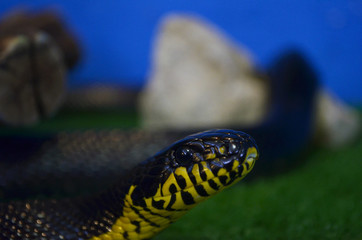 little Boiga of dendrophila closeup with blurred background