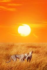 Wall Mural -  Cheetahs against sunset in the Serengeti National Park.  Africa. Tanzania.