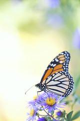 Monarch Butterfly Resting on Aster Flower in Field