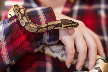A woman is holding a small royal python in her hands. Snake close up. Contact zoo.