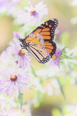 Monarch Butterfly Resting on Aster Flower in Field