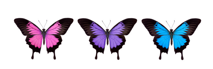 Papilionidae, The Swallowtails and Birdwings from Indonesia.