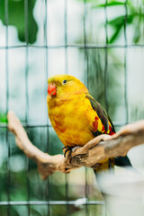 Yellow Regent Parrot Or Rock Pebbler In Zoo. Birds Can Be Trained