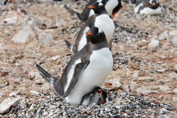 Gentoo penguin with chicks in nest