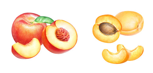 collection of hand drawn watercolor fruits isolated on white background. Peach and apricot fruits.