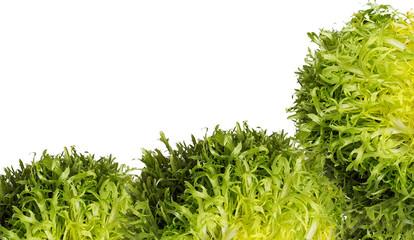 Escarole endive frisee lettuce