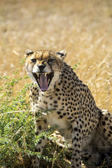 Portrait of cheetah roaring while sitting on field