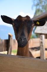 Neugierige Ziege schaut über einen Zaun