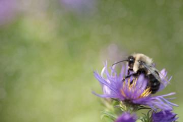 Bumblebee on an Aster Flower