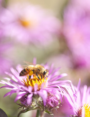 Honey bee in nature on aster flower
