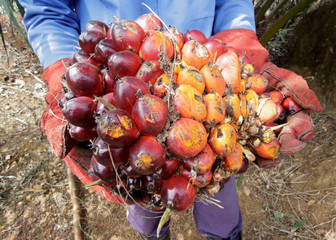 A worker displays palm fruits at Sime Darby Plantation in Gbah, in Bomi County