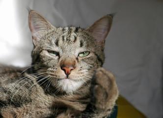 Porträt einer Tabby-Katze mit erhobener Pfote