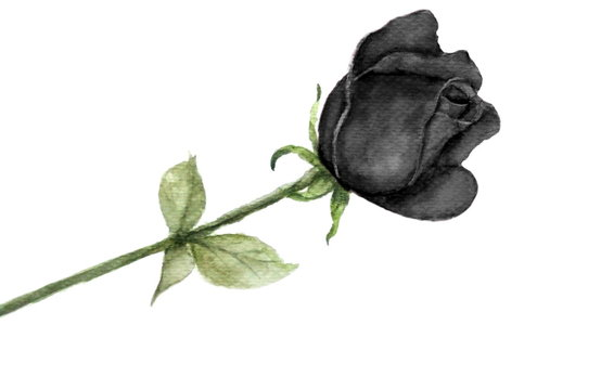 watercolor single black rose isolated on white background