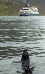 A young South American fur seal in the water looking backwards. A cruise ship is anchored in the bay in the background.