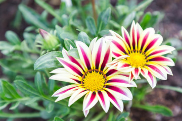 Beautiful flower and green leaf background in flower garden at sunny summer or spring day. flower for postcard beauty decoration and agriculture concept design. Gazania flower.