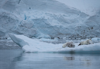 A Pair of Crabeater Seals laying on an iceberg floating in the Southern Ocean in Antarctica.