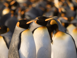 A Pair of King Penguins standing side by side with multiple penguins in the background.