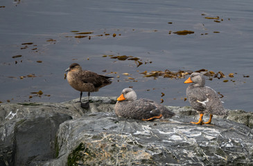 A Pair of Steamer Ducks with a Skua gull standing on a boulder on the Beagle Channel in Argentina.