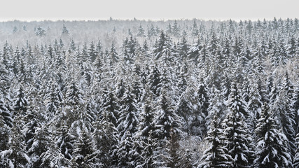 Spruce coniferous forest covered with snow in winter. Aerial view