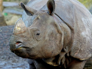 Bystre spojrzenie potężnego nosorożca