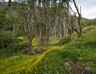 Buttercup Flowers and Deciduous Trees in a forest in Argentina. The trees have covered with light gray green moss.
