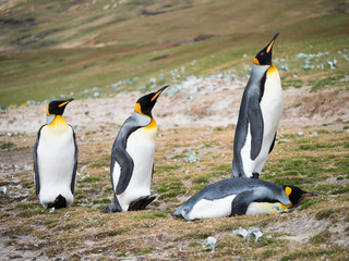 Four King Penguins with three standing and on laying on it stomach.