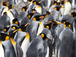 Close up King Penguins in a colony standing in a group. Only their head and torsos are shown.