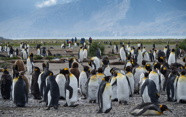 A colony of Molting Penguins with Onlooking Tourists in the background. Blue sky with thin clouds is above.